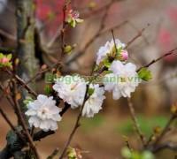 cây nhất chi mai, họ hoa hồng, Prunus mume Sieb. & Zucc,cây bạch mai, cây hàn mai, cây lưỡng nhị mai, cây nhị độ mai, cây mai trắng, hình ảnh cây nhất chi mai, cây nhất chi mai chữa bệnh, cây nhất chi mai chơi tết, cây mai trắng,,Cây Nhất Chi Mai (Cây Mai Trắng)