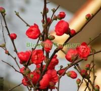 cây hoa mai đỏ, công dụng cây mộc qua, trái mộc qua, cây mai đỏ, hình ảnh cây hoa mai đỏ, Chaenomeles Japonica, họ hoa Hồng, cây hoa mai đỏ đẹp, cây mai đỏ ngày tết, cây mộc qua,,Cây Hoa Mai Đỏ (Cây mộc qua)