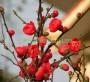 Cây Hoa Mai Đỏ (Cây mộc qua)