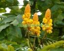cây muồng trâu chữa bệnh, Cây Muồng Trâu, cây lác, cay muong trau, cây Muồng lác , cay muong lac,Cassia alata L.,họ Đậu,Fabaceae,,Cây Muồng Trâu
