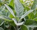 Cây Xô Thơm,sage, Salvia officinalis,họ Hoa môi,Salvia sclarea,cây từ tô, cây xô thơm chữa bệnh, cách trồng và chăm sóc cây xô thơm,,Cây Xô Thơm (Sage)