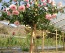Cây Hoa Hồng Thân Gỗ, tree rose, cây hoa hồng cổ, cây hồng cổ, rose, cây tết, cây tết 2017, cây hồng thân gỗ, hoa hồng thân gỗ, hồng cổ Sapa, cây hoa hồng Sapa,cây hoa chơi tết,,Cây Hoa Hồng Thân Gỗ - Tree Rose