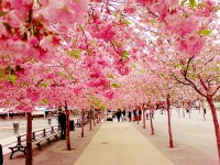 Cây mai anh đào,cây cảnh,mua bán cây cảnh,hoa cảnh,sinh vật cảnh,hòn non bộ,Toàn quốc,Cây đào Đà Lạt (mai anh đào)