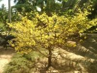 cây cảnh,mua bán cây cảnh,hoa cảnh,sinh vật cảnh,hòn non bộ,Các tỉnh miền Nam,Cây mai vàng