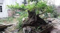 Cây sếu, cổ thụ, cây cảnh,mua bán cây cảnh,hoa cảnh,sinh vật cảnh,hòn non bộ,Toàn quốc,Bán cây sếu (cơm nguội) cảnh 200 tuổi tuyệt đẹp