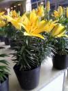 ly chậu,mua bán cây cảnh,hoa cảnh,sinh vật cảnh,hòn non bộ,Toàn quốc,Bán Ly chậu Tiny Bee