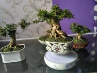 airbonsai, cây phong thủy, kim thanh mai,mua bán cây cảnh,hoa cảnh,sinh vật cảnh,hòn non bộ,TP Hồ Chí Minh,Bán Airbonsai đẹp độc lạ