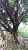 bán cây sanh,Cây sanh đẹp,gốc cây sanh phôi,cây cảnh sân vườn, cây sanh phôi,mua bán cây cảnh,hoa cảnh,sinh vật cảnh,hòn non bộ,Toàn quốc,Hiện tại tôi có 30 gốc cây sanh (gốc phôi) 3 năm tuổi cần bán