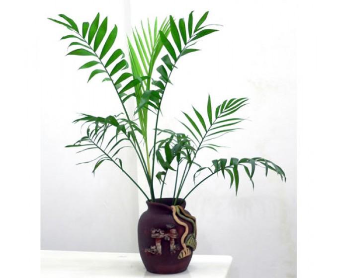 cách chăm sóc cây cau tiểu trâm 1