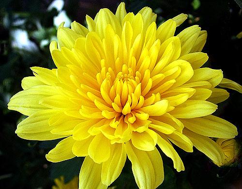 Mua hoa tươi dịp Tết: Cẩn trọng 'trúng độc' - ảnh 1