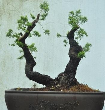 Kết quả hình ảnh cho cây tùng kim bonsai
