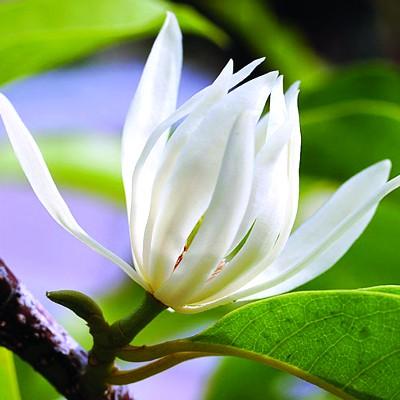 Image result for hoa ngoc lan