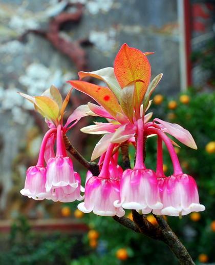 Hoa Dao Hoa Đào Chuông,hoa Dao Chuong