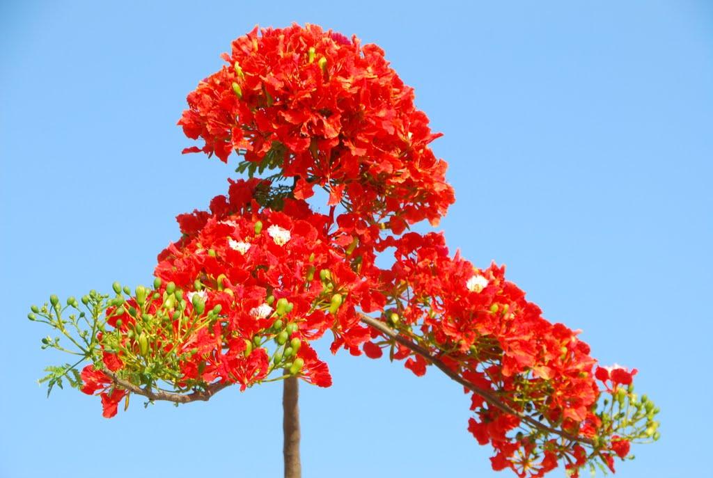 Hoa Phượng vĩ,phuong vi,phượng vỹ,cây phượng vĩ,cây phượng