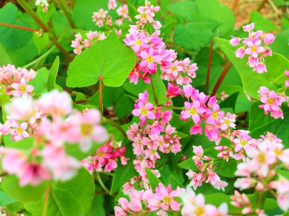 Kết quả hình ảnh cho hoa tam giác mạch