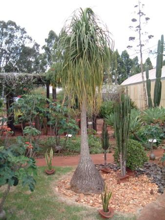 Lan Bình Rượu,lan binh ruou,cây náng đế,cay nang de,cây lan,cây nội thất,Beaucarnea recurvata,họ măng tây,họ thiên môn đông,Asparagaceae