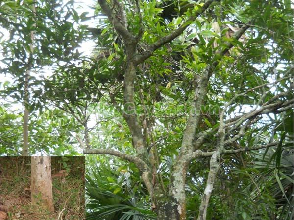 Cây Rau Sắng,cây rau sắng, cay rau sang, công dụng của cây rau sắng, cây mì chính, rau ngọt, cây rau ngót rừng, cây rau ngót quế, cây lai cam, cây tắc sắng, Melientha suavis,