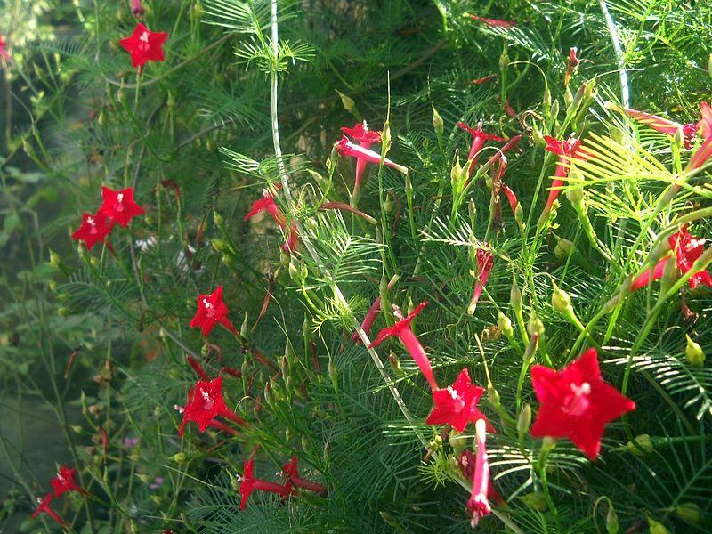 hoa tóc tiên,hoa sao,dây tóc tiên,dây hoa tóc tiên,day hoa toc tien,hoa toc tien,tóc tiên,toc tien,Ipomoea quamoclit,Morning Glory,cây hoa