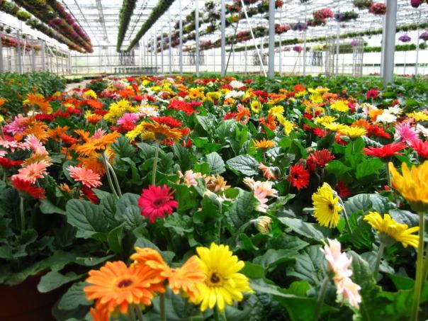 Cúc đồng tiền,hoa cúc,cúc,hoa đồng tiền,hoa dong tien,hoa ngày Tết,cây ngày Tết,Asteraceae,Gerbera L