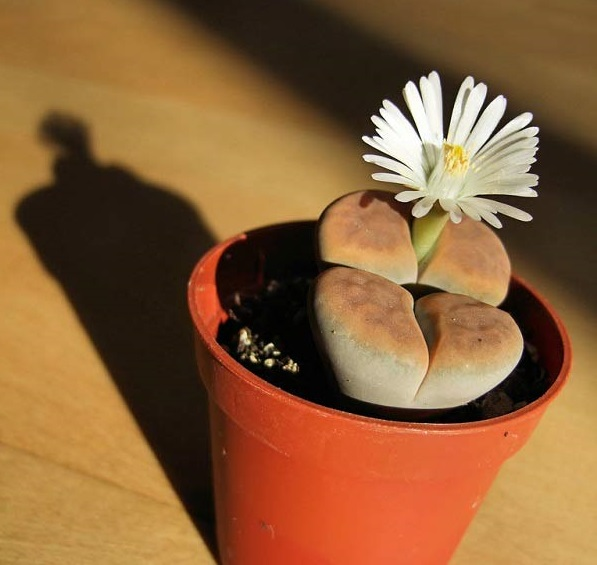 Hoa sỏi,cây hoa sỏi,Lithopturbuniformis,họ phiên hạnh,Aizoaceae,Ficoidaceae