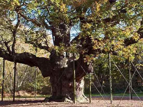 Cây sồi Major (thuộc rừng Sherwood Forest, Anh),cây nhiều tuổi nhất thế giới