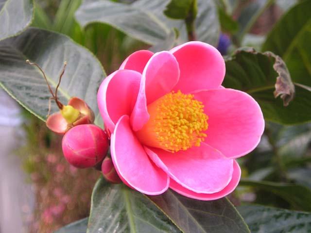 Hải đường,cây hải đường,hoa hải đường,cây ngày Tết,ý nghĩa hoa hải đường,sự tích hoa hải đường