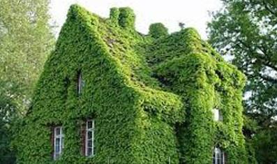 Cây Thằn Lằn ( Vảy ốc ) leo kín quanh nhà tạo sự mát mẻ
