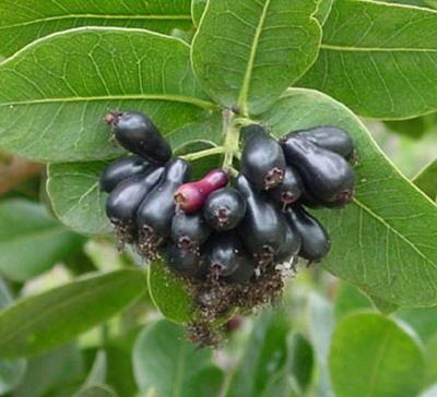 Cây trâm,trâm mốc,trâm vối,vối rừng,Syzygium cumini,Jamblon,Jamelonier