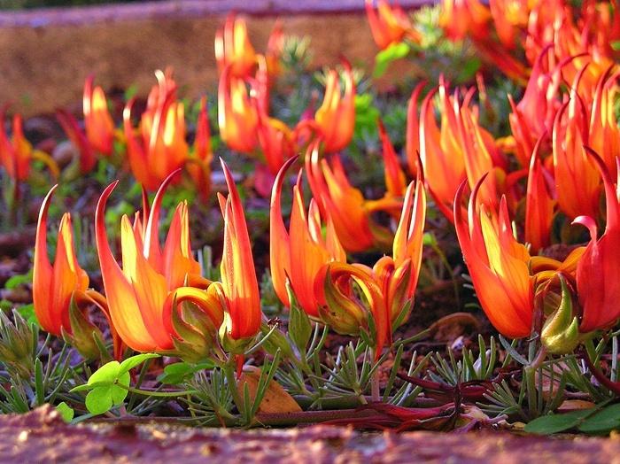 Hoa mỏ vẹt,mỏ vẹt,Lotus berthelotii,họ đậu,Fabaceae,hoa quý hiếm,hoa đẹp