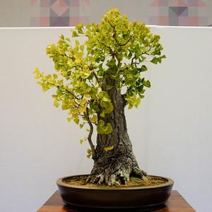 Bạch quả - ngân hạnh bonsai