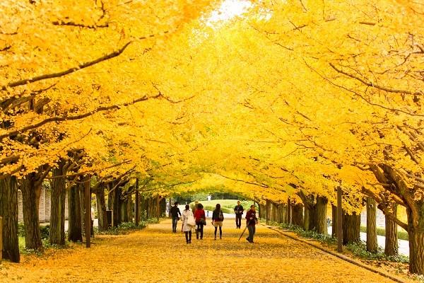 Đường cây bạch quả, Nhật Bản
