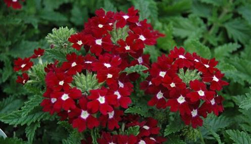 Hoa vân anh,hoa đẹp,ý nghĩa hoa vân anh