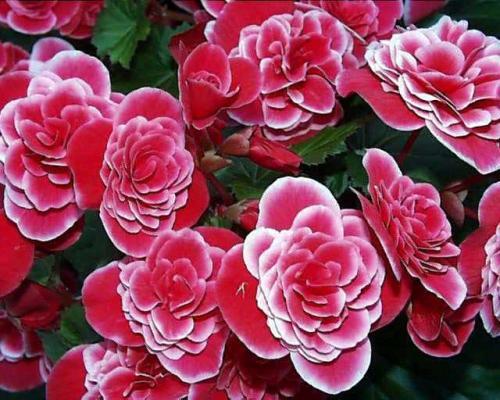 Thu hải đường,Begonia,Begoniaceae,hoa Kim Chính Nhật,cây hoa đẹp
