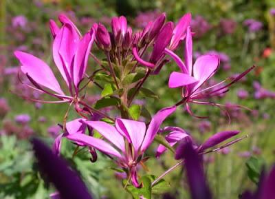 Hoa túy điệp,túy điệp,hoa đẹp,hoa Đà Lạt,Cleome spinosa