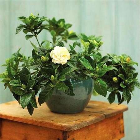 Cây dành dành,dành dành,chi tử,thuỷ hoàng chi,mác làng cương,Gardenia jasminoides Ellis,G. augusta