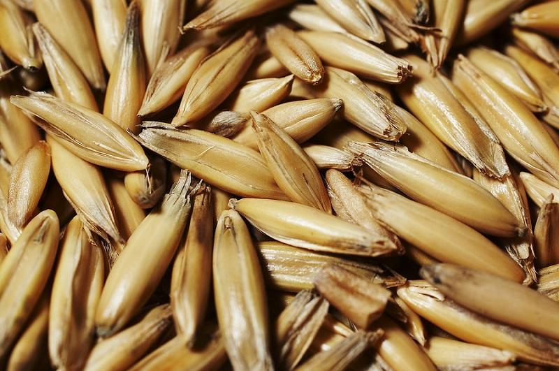 Yến mạch,cây yến mạch,hạt yến mạch,bột yến mạch,cây ngũ cốc,cây lương thực,avena sativa
