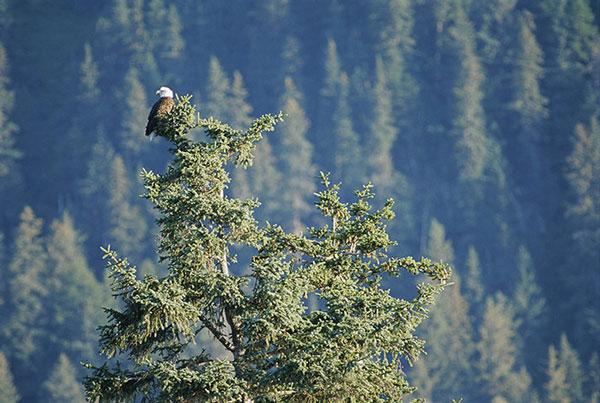 cây vân sam Sitka ở Alaska