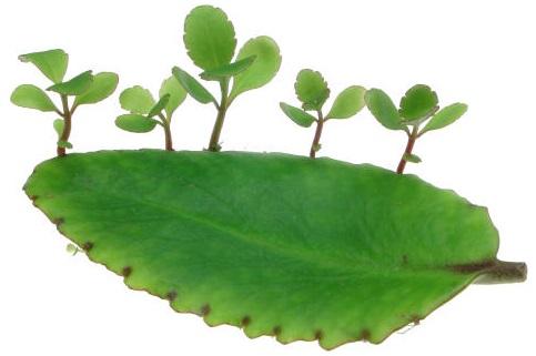 Cây lá bỏng,cây sống đời,hoa sống đời,cây thuốc bỏng,cây bỏng nổ,cây trường sinh,cây lạc địa sinh căn,Kalanchoe pinnata,Bryophyllum calycinum,Bryophyllum pinnatum,cây chữa bệnh,cây chữa bỏng