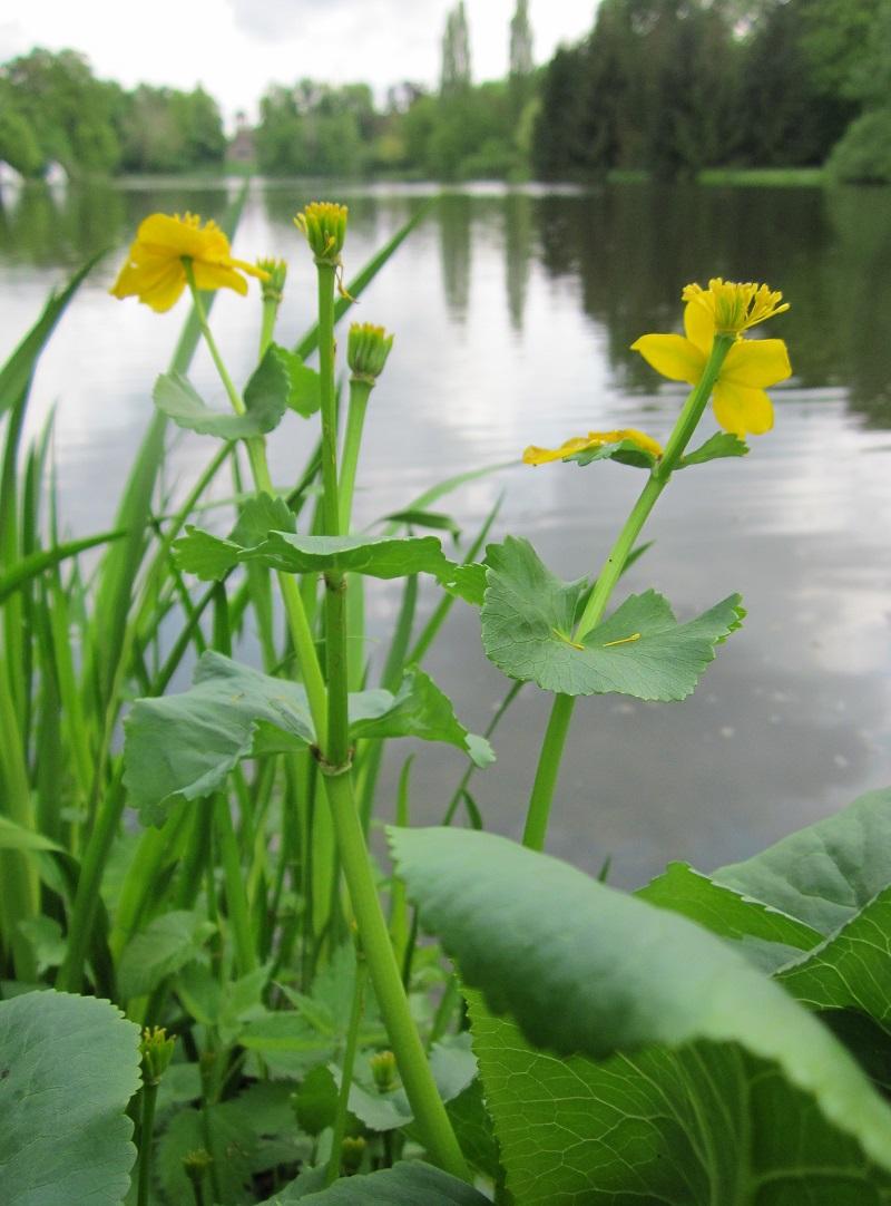 Vị kim đất ẩm,Caltha palustris,họ mao lương,họ hoàng liên,Ranunculaceae