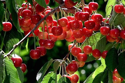 Cherry,cây cherry,cây anh đào,quả anh đào,cây ăn quả