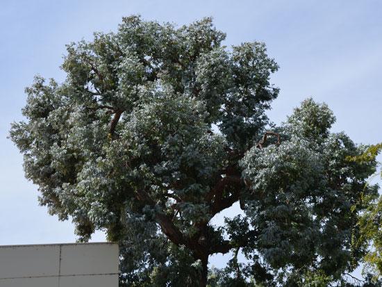 Cây tiền bạc,đô la bạc,Silver dollar,đồng đô bạc,đồng đô la bạc,Eucalyptus cinerea,silver dollar tree