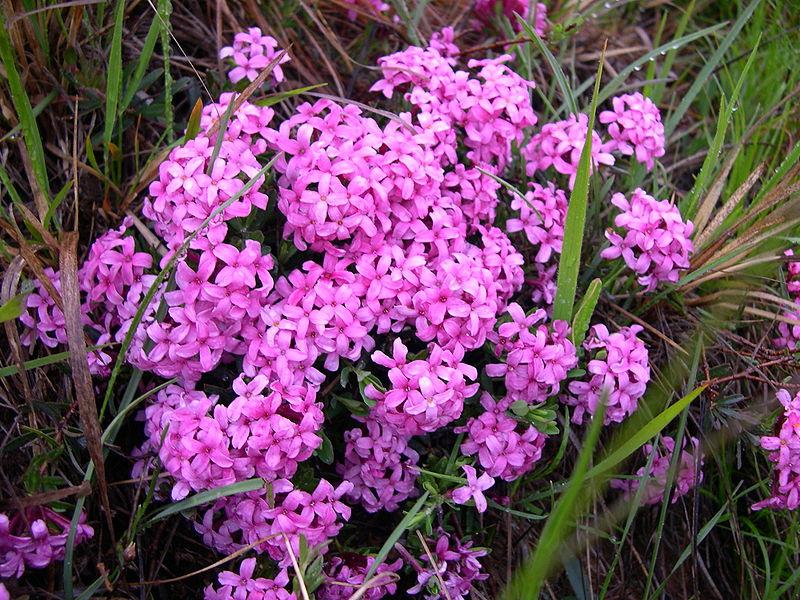 Thụy hương hồng,Daphne cneorum,thụy hương,Daphne