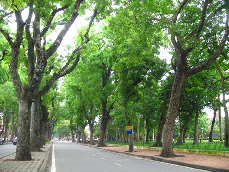 Hàng cây xà cừ trên phố Hoàng Diệu - Hà Nội