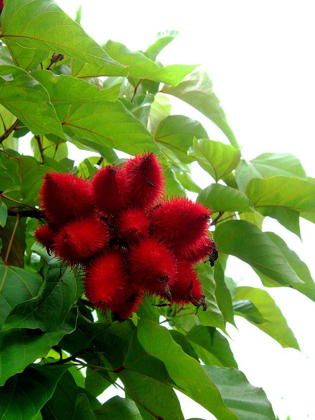 Điều nhuộm,cây điều nhuộm,điều màu,cà ri,Bixa orellana,Bixaceae,cây làm thuốc