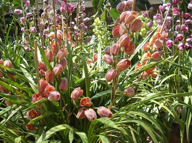 Cây địa lan,cay dia lan,địa lan,dia lan,phong lan,hoa lan,Cymbidium hybrid
