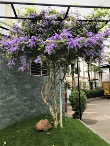Cây Hoa Mai Xanh Và Mai Xanh Thái,cây hoa mai xanh, cây mai xanh thái, mai xanh thái, phân biệt cây hoa mai xanh và mai xanh thái, mai xanh thái lan, cây mai xanh, cây hoa mai tím, cây mai xanh Thái lan,mai xanh Thái, mai tím Thái Lan, Sandpaper vine, Purple wreath, Queen's Wreath, Petrea volubilis