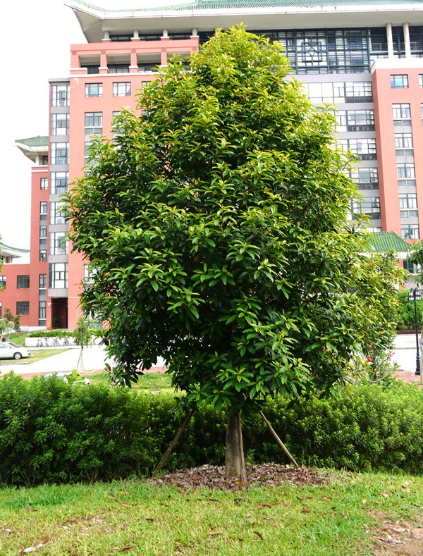 Vàng tâm,cây vàng tâm,Magnolia fordiana,Manglietia fordiana,họ mộc lan,mộc lan,Magnoliaceae,cây công trình,cây ven đường