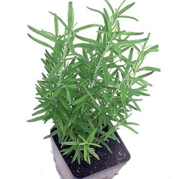 Cây hương thảo,hương thảo,cây gia vị,cây làm thuốc,Rosmarinus officinalis,họ hoa môi,Lamiaceae,Labiatae,công dụng của hương thảo,tác dụng của hương thảo