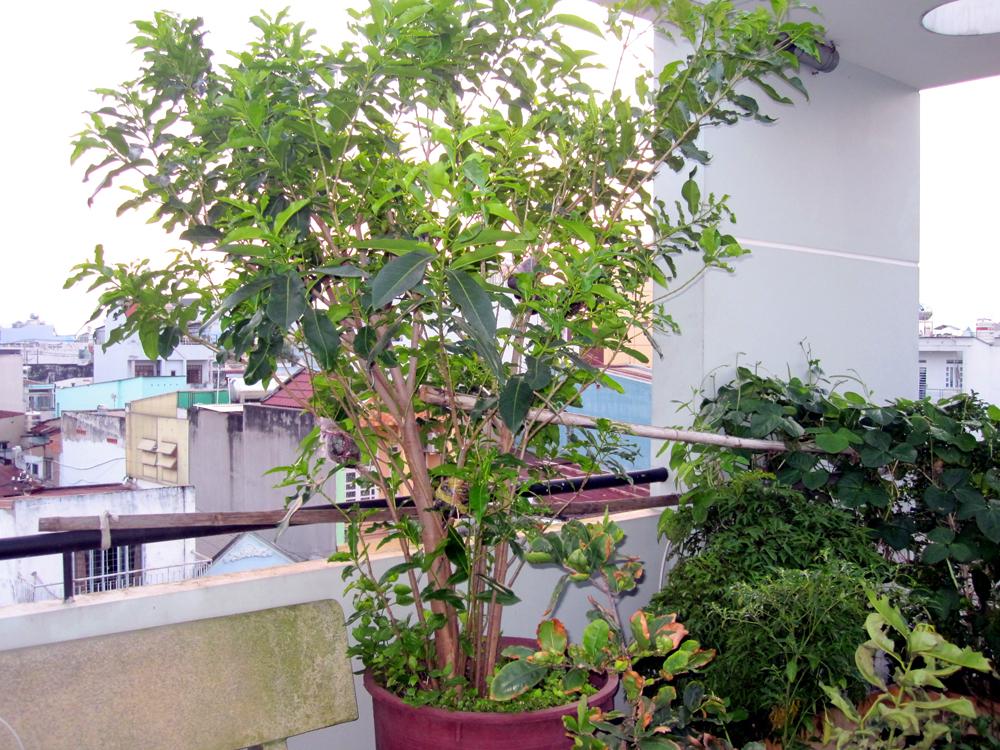 Cây vối trồng trong chậu làm cây cảnh