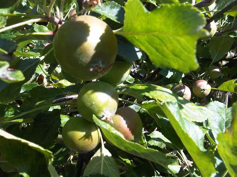 Quả táo tây khi còn xanh,cây táo tây